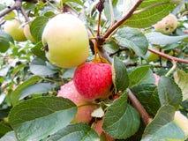 Φωτεινά ώριμα juicy υγρά μήλα σε έναν κλάδο Στοκ Φωτογραφίες
