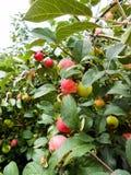 Φωτεινά ώριμα juicy υγρά μήλα σε έναν κλάδο Στοκ Εικόνα