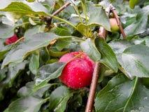 Φωτεινά ώριμα juicy υγρά μήλα σε έναν κλάδο Στοκ Φωτογραφία