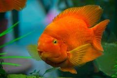 Φωτεινά yellow-orange τεράστια επιπλέοντα σώματα παπαγάλων ψαριών σε ένα ενυδρείο Στοκ Φωτογραφίες