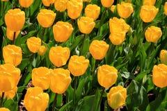 Φωτεινές και ζωηρόχρωμες κίτρινες τουλίπες στον όμορφο εξωραϊσμένο κήπο στοκ εικόνα με δικαίωμα ελεύθερης χρήσης