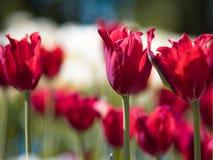 φωτεινές κόκκινες τουλί&p Κρεβάτι ή κήπος λουλουδιών με τις διαφορετικές ποικιλίες των τουλιπών Στοκ Εικόνες