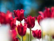 φωτεινές κόκκινες τουλί&p Κρεβάτι ή κήπος λουλουδιών με τις διαφορετικές ποικιλίες των τουλιπών Στοκ Φωτογραφία