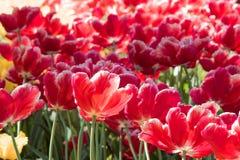 φωτεινές κόκκινες τουλί&p Κρεβάτι ή κήπος λουλουδιών με τις διαφορετικές ποικιλίες των τουλιπών Στοκ φωτογραφία με δικαίωμα ελεύθερης χρήσης