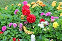 Φωτεινές ντάλιες λουλουδιών στο κρεβάτι λουλουδιών στοκ εικόνες με δικαίωμα ελεύθερης χρήσης