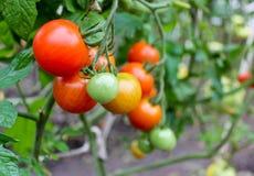 Φωτεινές ντομάτες Στοκ φωτογραφία με δικαίωμα ελεύθερης χρήσης
