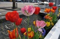 Φωτεινές φρέσκες τουλίπες στο κρεβάτι λουλουδιών οδών στοκ φωτογραφίες