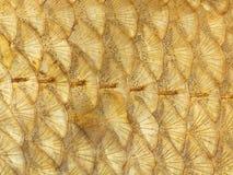 Φωτεινές χρυσές κλίμακες ψαριών Στοκ φωτογραφίες με δικαίωμα ελεύθερης χρήσης