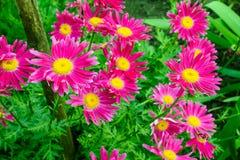 Φωτεινή άνθιση ρόδινο Chamomile στον κήπο Στοκ εικόνες με δικαίωμα ελεύθερης χρήσης