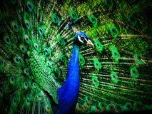 φωτεινή απομακρυνθείσα αρσενική ουρά peacock πουλιών Στοκ φωτογραφίες με δικαίωμα ελεύθερης χρήσης