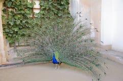 φωτεινή απομακρυνθείσα αρσενική ουρά peacock πουλιών Στοκ Εικόνα