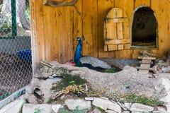 φωτεινή απομακρυνθείσα αρσενική ουρά peacock πουλιών Στοκ Φωτογραφίες