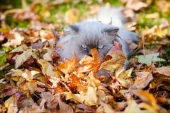 Φωτεινή δονούμενη φωτογραφία της περσικής γάτας Himalayan στα φύλλα φθινοπώρου στοκ φωτογραφία