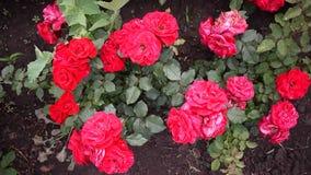 Φωτεινή ηλιόλουστη ημέρα κινηματογραφήσεων σε πρώτο πλάνο μπουμπουκιών τριαντάφυλλου Πολύχρωμος αυξήθηκε πέταλα r απόθεμα βίντεο