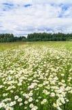 Φωτεινή θερινή ημέρα στο ανθισμένο camomile λιβάδι Στοκ Εικόνες