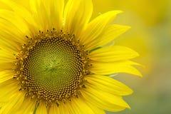 Φωτεινή κίτρινη κινηματογράφηση σε πρώτο πλάνο ηλίανθων μερικώς στο μουτζουρωμένο υπόβαθρο στοκ εικόνες με δικαίωμα ελεύθερης χρήσης