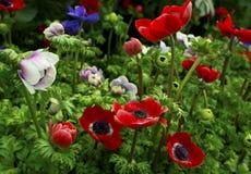 Φωτεινή κινηματογράφηση σε πρώτο πλάνο λουλουδιών anemone. Στοκ Εικόνες
