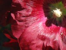 Φωτεινή κόκκινη κινηματογράφηση σε πρώτο πλάνο Hollyhock Στοκ εικόνες με δικαίωμα ελεύθερης χρήσης
