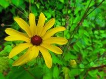 φωτεινή μαργαρίτα κίτρινη Στοκ φωτογραφία με δικαίωμα ελεύθερης χρήσης