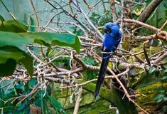Φωτεινή μπλε τοποθέτηση πουλιών Macaw για τη κάμερα στοκ φωτογραφία με δικαίωμα ελεύθερης χρήσης