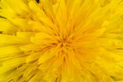 φωτεινή πικραλίδα κίτρινη στοκ φωτογραφίες με δικαίωμα ελεύθερης χρήσης