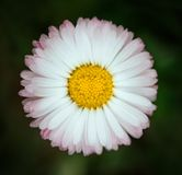 Φωτεινή ρόδινη κινηματογράφηση σε πρώτο πλάνο λουλουδιών της Daisy στο πράσινο υπόβαθρο Marguerite με τα άσπρα ρόδινα πέταλα και  στοκ φωτογραφία με δικαίωμα ελεύθερης χρήσης