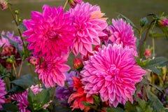 Φωτεινή ρόδινη κινηματογράφηση σε πρώτο πλάνο συστάδων λουλουδιών νταλιών για τα floral υπόβαθρα Στοκ Φωτογραφίες