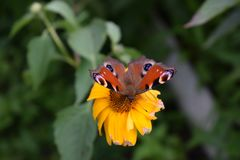 Φωτεινή συνεδρίαση πεταλούδων σε ένα κίτρινο λουλούδι στοκ εικόνες