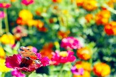 Φωτεινή συνεδρίαση Inachis io στο μπλε λουλούδι Ευρωπαϊκή πεταλούδα Peacock στο λουλούδι Στοκ εικόνες με δικαίωμα ελεύθερης χρήσης