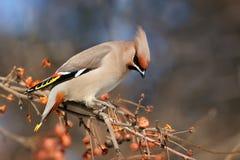Φωτεινή συνεδρίαση Waxwing πουλιών σε ένα δέντρο της Apple Στοκ Φωτογραφίες