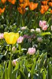 φωτεινή τουλίπα κίτρινη Στοκ φωτογραφία με δικαίωμα ελεύθερης χρήσης