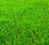 φωτεινή χλόη πράσινη Στοκ Φωτογραφία