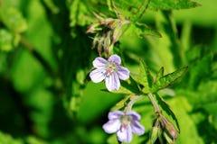 Φωτεινή juicy φωτογραφία των μικρών άσπρων λουλουδιών με τα ιώδη πέταλα και τα πράσινα φύλλα και των κλειστών οφθαλμών σε ένα θολ Στοκ Εικόνα