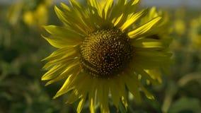 Φωτεινοί κίτρινοι ηλίανθοι που ταλαντεύονται στον τομέα σε αργή κίνηση φιλμ μικρού μήκους