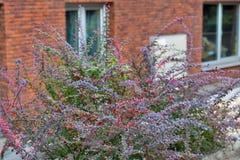 Φωτεινοί κόκκινοι καρποί φθινοπώρου κοινό barberry Στοκ Εικόνες