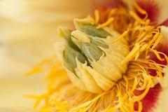 Φωτεινός ασυνήθιστος κίτρινος peony στοκ εικόνα με δικαίωμα ελεύθερης χρήσης