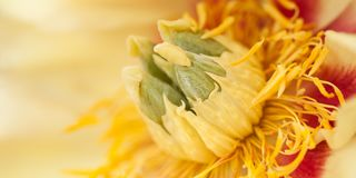 Φωτεινός ασυνήθιστος κίτρινος peony στοκ φωτογραφία με δικαίωμα ελεύθερης χρήσης