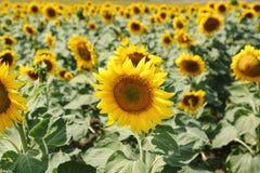φωτεινός ηλίανθος ήλιων πρόσφατου καλοκαιριού λουλουδιών κεντρικών πεδίων μελισσών κίτρινος Στοκ φωτογραφίες με δικαίωμα ελεύθερης χρήσης