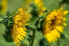 φωτεινός ηλίανθος ήλιων πρόσφατου καλοκαιριού λουλουδιών κεντρικών πεδίων μελισσών κίτρινος στοκ εικόνα
