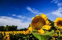 φωτεινός ηλίανθος ήλιων πρόσφατου καλοκαιριού λουλουδιών κεντρικών πεδίων μελισσών κίτρινος Στοκ Εικόνες
