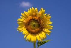 φωτεινός ηλίανθος ήλιων πρόσφατου καλοκαιριού λουλουδιών κεντρικών πεδίων μελισσών κίτρινος Στοκ εικόνες με δικαίωμα ελεύθερης χρήσης