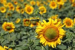 φωτεινός ηλίανθος ήλιων πρόσφατου καλοκαιριού λουλουδιών κεντρικών πεδίων μελισσών κίτρινος Στοκ Φωτογραφία