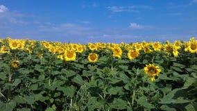 φωτεινός ηλίανθος ήλιων πρόσφατου καλοκαιριού λουλουδιών κεντρικών πεδίων μελισσών κίτρινος Στοκ φωτογραφία με δικαίωμα ελεύθερης χρήσης