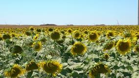 φωτεινός ηλίανθος ήλιων πρόσφατου καλοκαιριού λουλουδιών κεντρικών πεδίων μελισσών κίτρινος απόθεμα βίντεο
