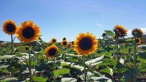 φωτεινός ηλίανθος ήλιων πρόσφατου καλοκαιριού λουλουδιών κεντρικών πεδίων μελισσών κίτρινος Στοκ Φωτογραφίες