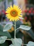 Φωτεινός κίτρινος ανθίζοντας ηλίανθος Στοκ φωτογραφίες με δικαίωμα ελεύθερης χρήσης