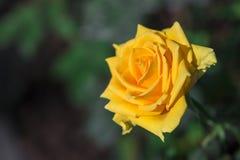 Φωτεινός κίτρινος αυξήθηκε λουλούδι στοκ φωτογραφίες