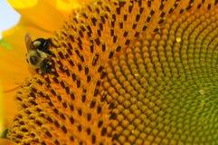 Φωτεινός κίτρινος ηλίανθος με στενό επάνω μιας μέλισσας στοκ εικόνα