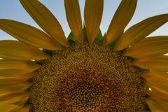 Φωτεινός κίτρινος ηλίανθος στον τομέα Στοκ Φωτογραφία