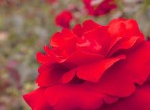 Φωτεινός κόκκινος αυξήθηκε στην κινηματογράφηση σε πρώτο πλάνο Στοκ Εικόνες